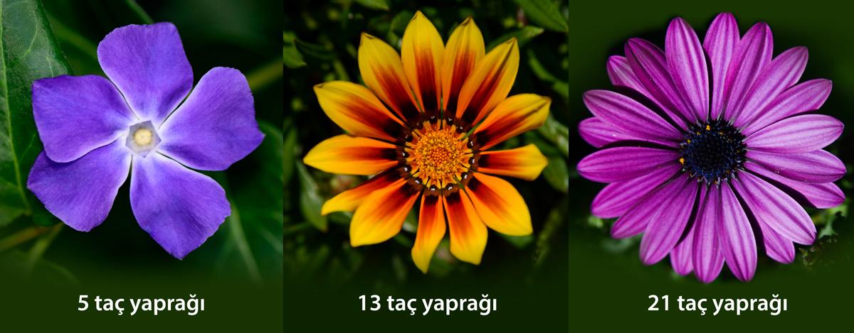 Altın oran doğa çiçekler fibonacci dizisi