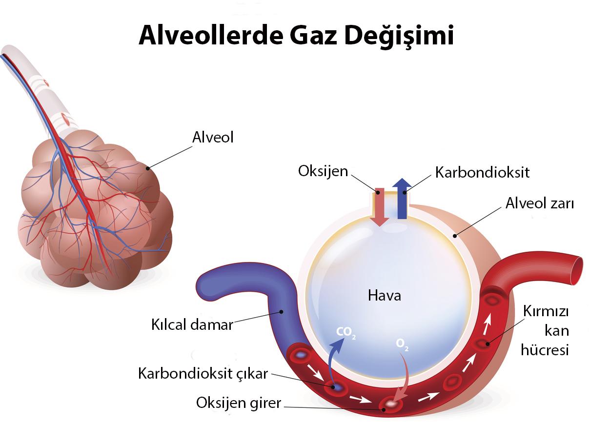 Aktif taşımada, moleküller daha az bulundukları ortamdan daha çok bulundukları ortama enerji yani ATP kullanarak geçiş yapar.