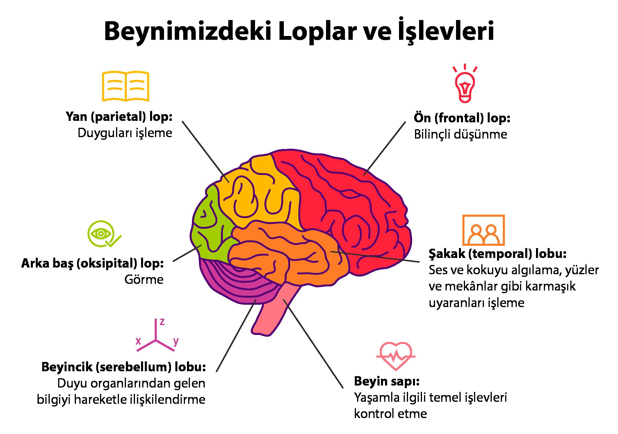 beyin lopları ve işlevleri