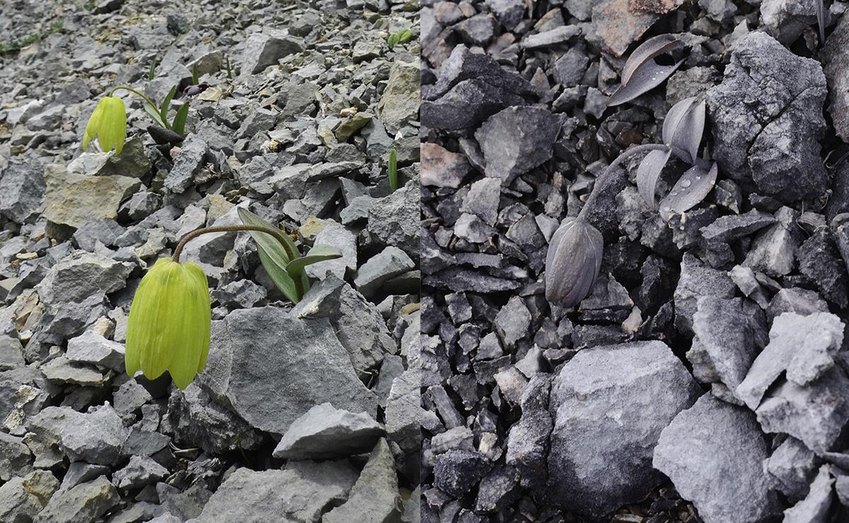 Fritillaria delavayi bitkisi