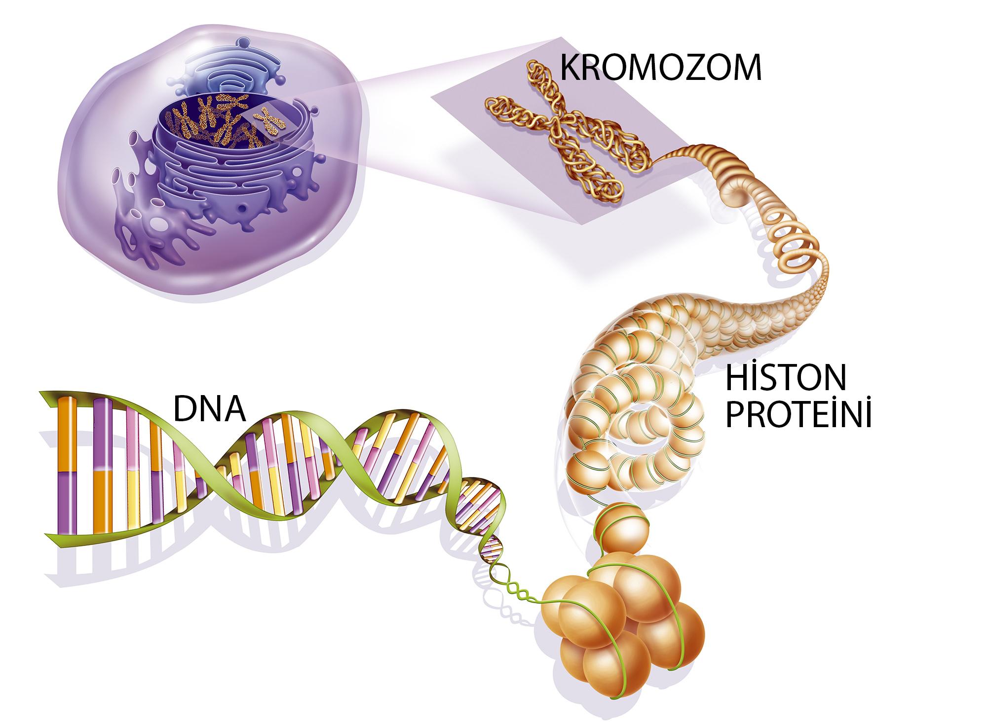 data-cke-saved-src=https://bilimgenc.tubitak.gov.tr/sites/default/files/dna-histone-kromozom.jpg