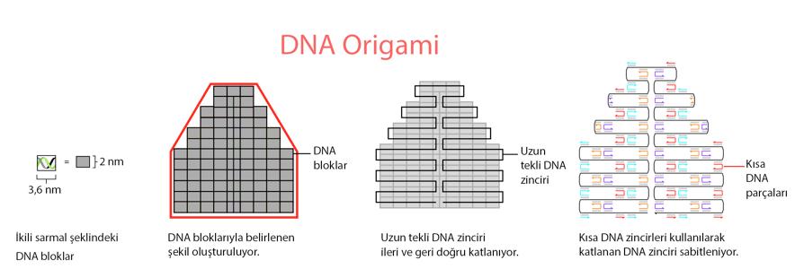 data-cke-saved-src=http://www.bilimgenc.tubitak.gov.tr/sites/default/files/dna_origami2.png
