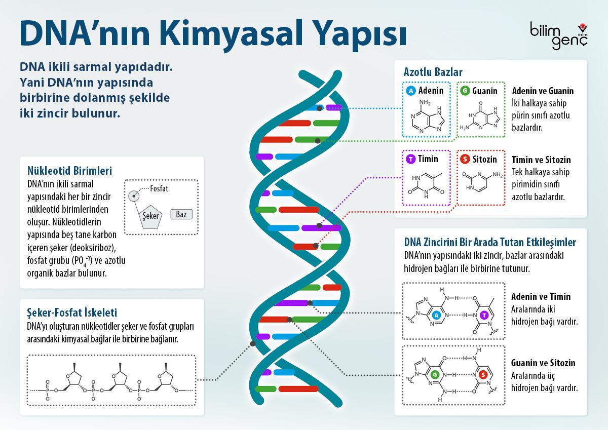 DNA'nın kimyasal yapısı ve özellikleri, DNA nedir