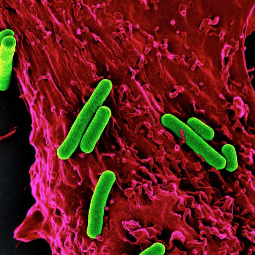 data-cke-saved-src=http://www.bilimgenc.tubitak.gov.tr/sites/default/files/farelerin_kalp_kaslarina_enjekte_edilen_mikroorganizmalar_s._elongatus_cyanobacteria_kopya.jpg