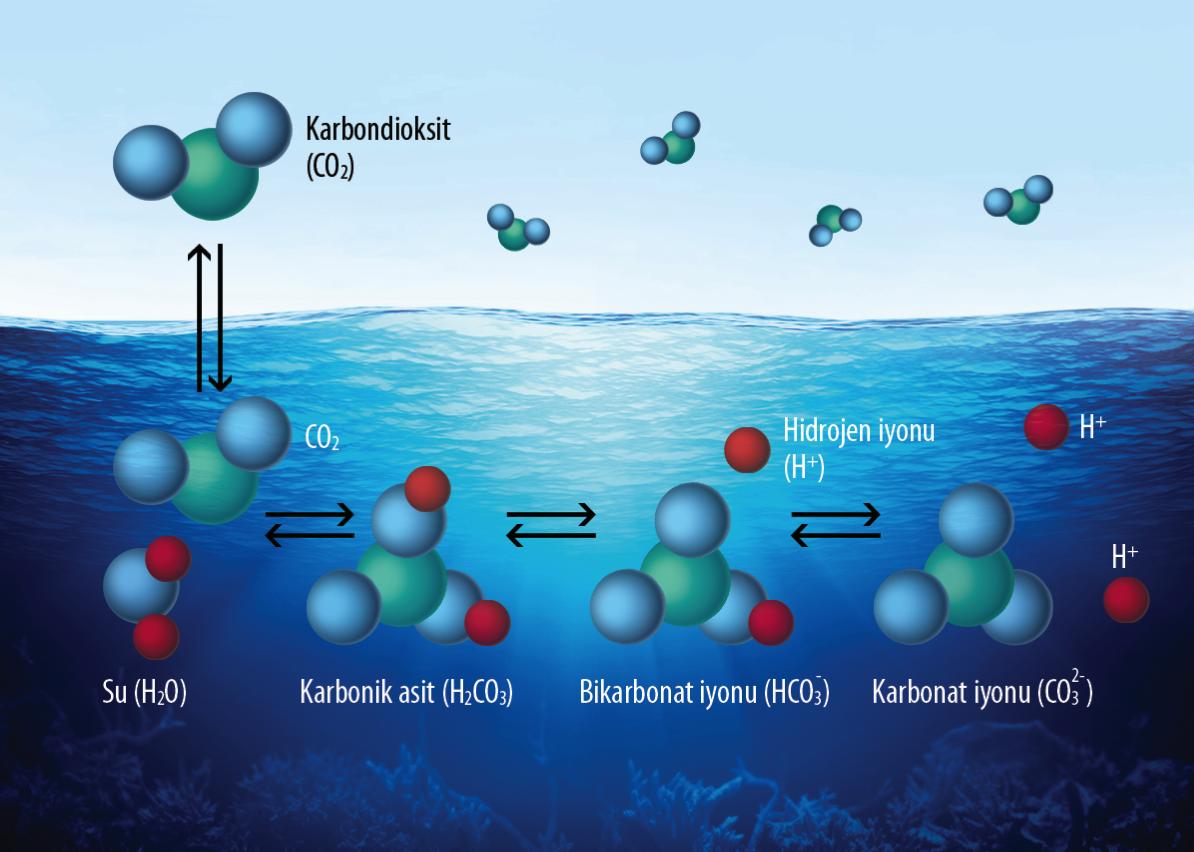 Karbonik asidin suda ayrışma tepkimesi