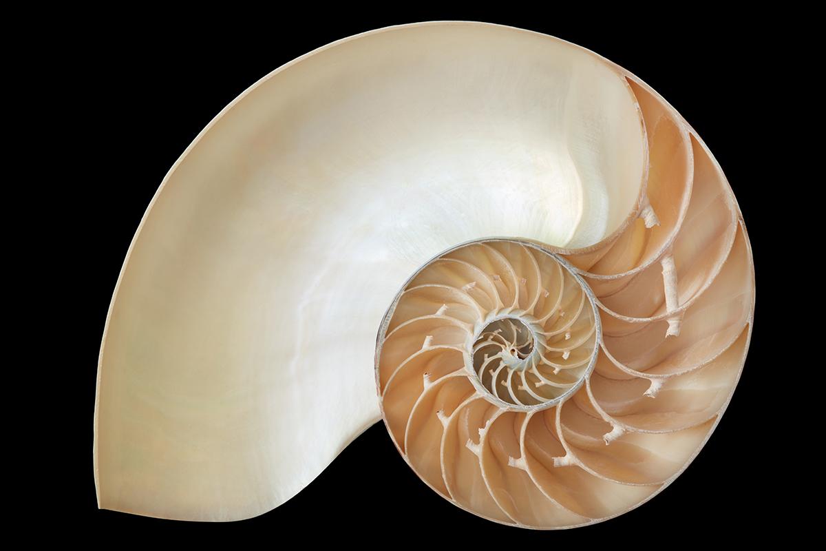 Doğada altın oran deniz kabuklusu