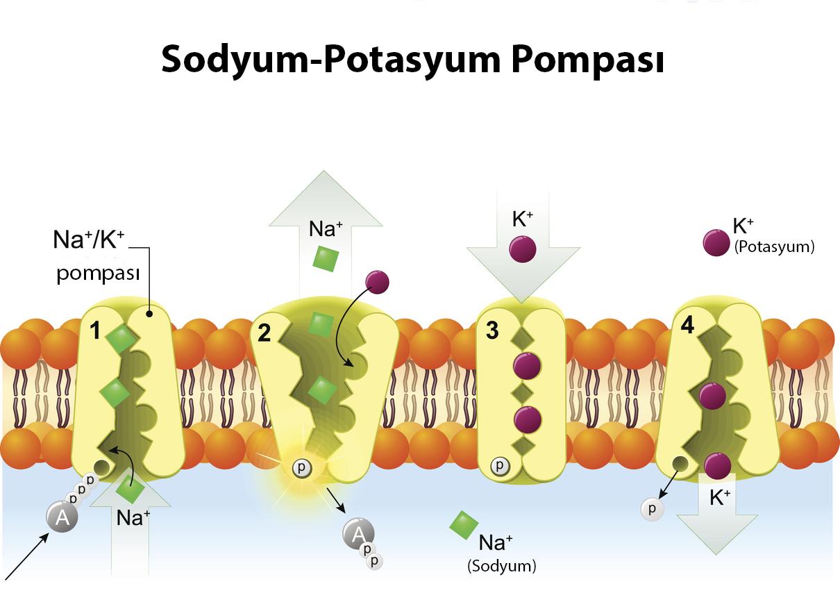 Sodyum-potasyum pompası aktif taşıma ile çalışır.