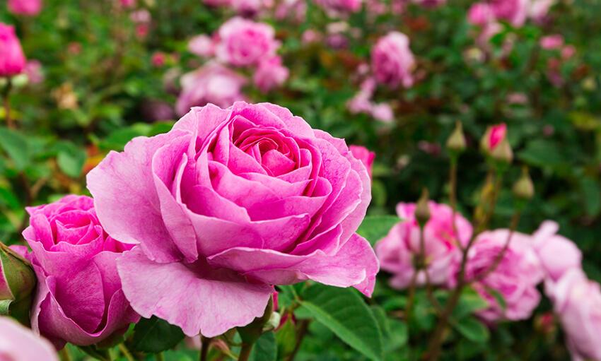 çiçekler Neden Güzel Kokar Tübitak Bilim Genç