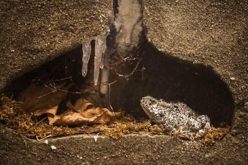 Kurbağa: ve kış uykusu ile ilgili görsel sonucu